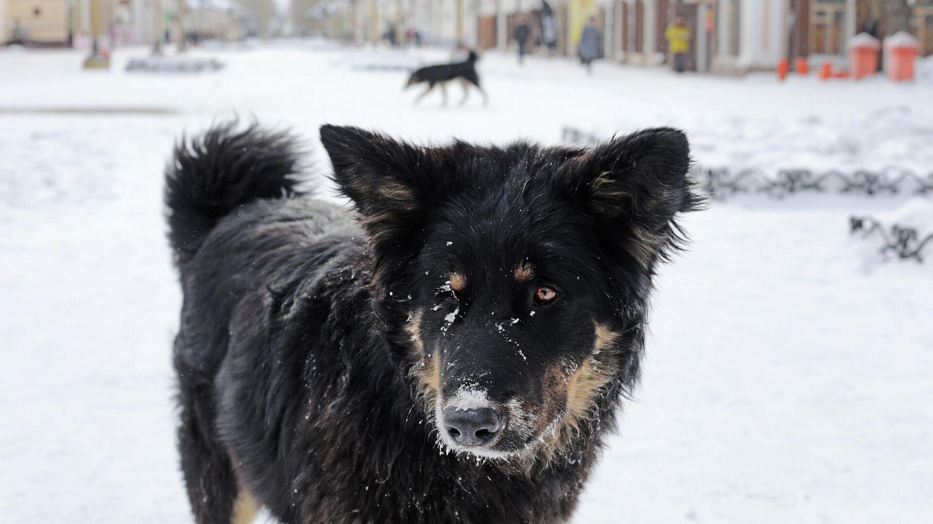 Собака на одной из улиц в центре Улан-Удэ - РИА Новости, 1920, 26.01.2021