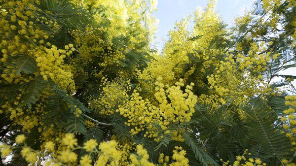 Раннее цветение мимозы в Сочи