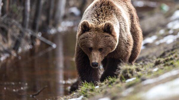 Бурый медведь после зимней спячки в Карелии