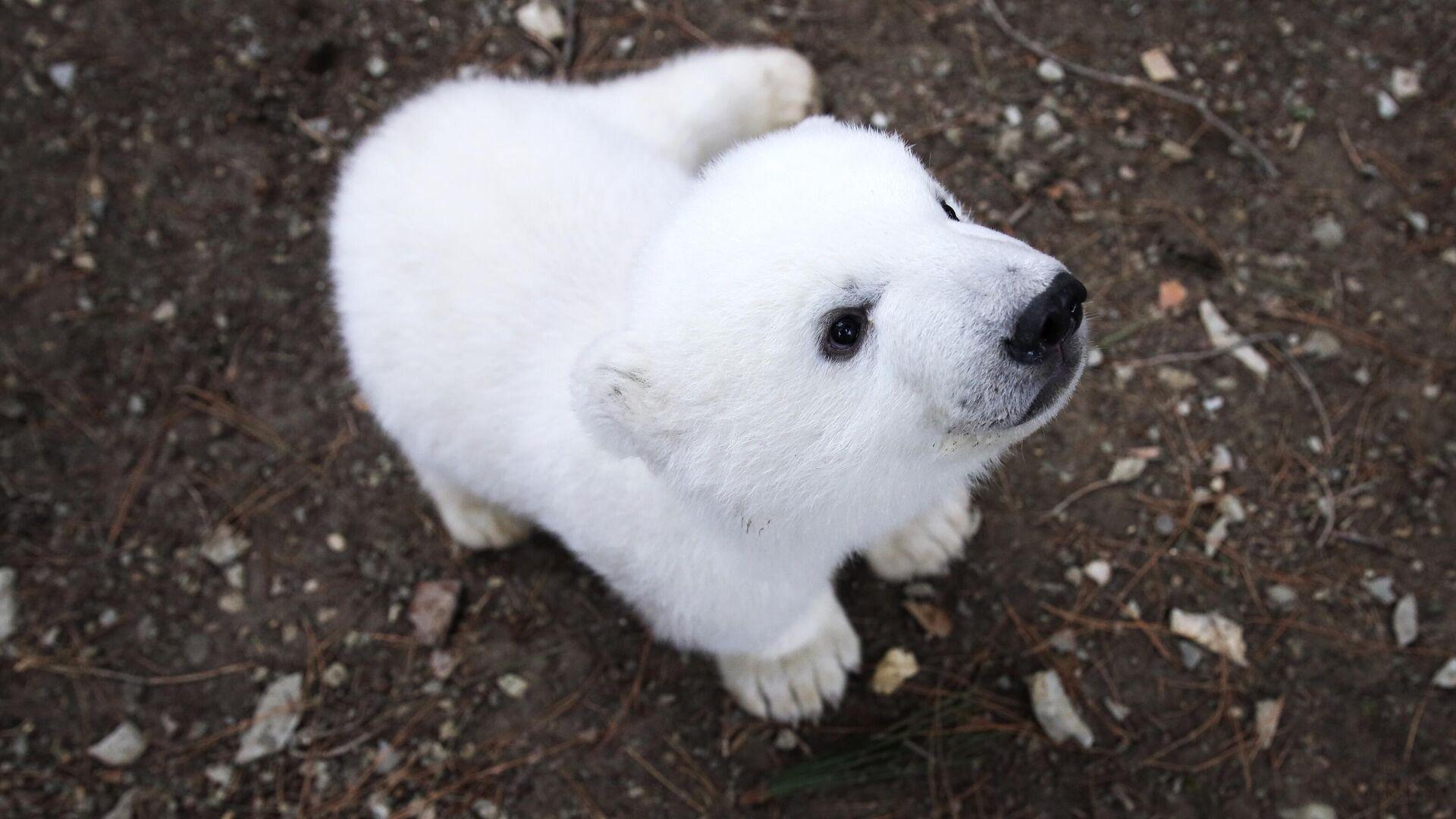 Детеныш белого медведя на прогулке в сафари-парке Геленджика - РИА Новости, 1920, 26.05.2021