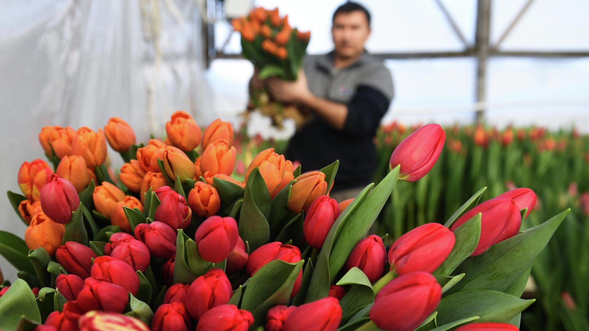 Сбор тюльпанов в преддверии праздника 8 Марта в тепличном хозяйстве фермера Александра Бурмантова в Новосибирске - РИА Новости, 1920, 08.03.2021