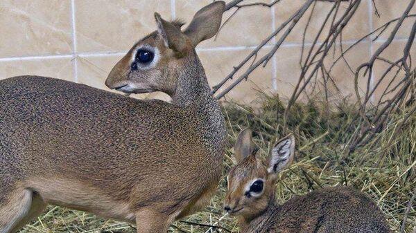 Африканская антилопа дикдик в Новосибирском зоопарке