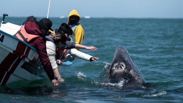 Туристы пытаются прикоснуться к серому киту в Герреро-Негро, Южная Нижняя Калифорния