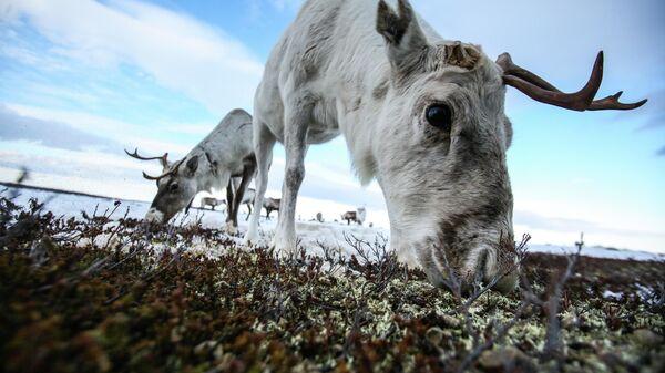 Северный олень на пастбище у села Ловозеро Мурманской области