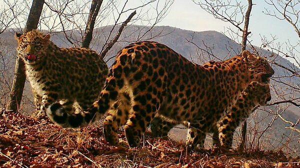 Котята дальневосточного леопарда в национальном парке Земля леопарда в Приморском крае