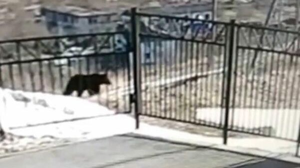 Медведь у ворот сельской школы на Сахалине