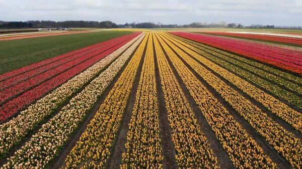 Разноцветное море: в садах Нидерландов распустились миллионы цветов
