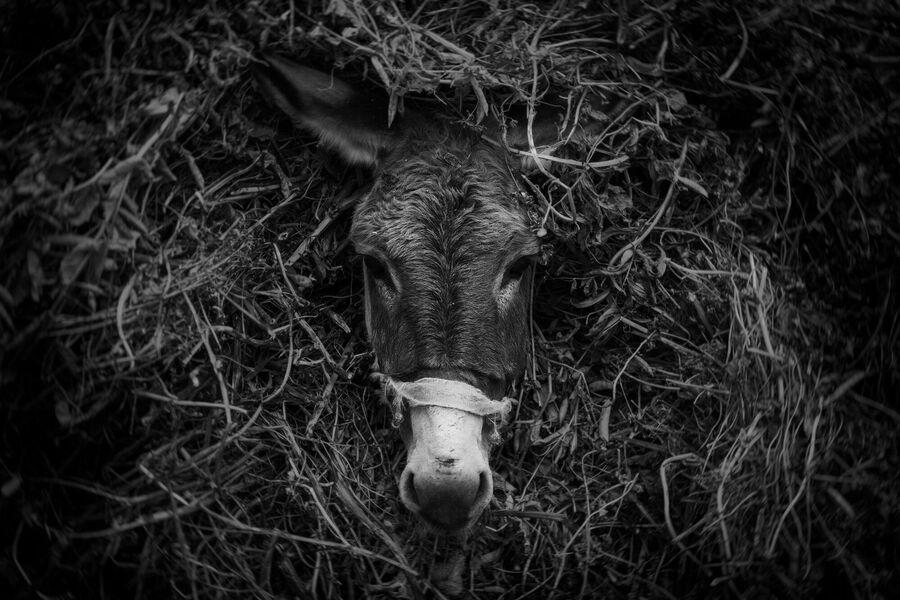 Нагруженный сеном ослик