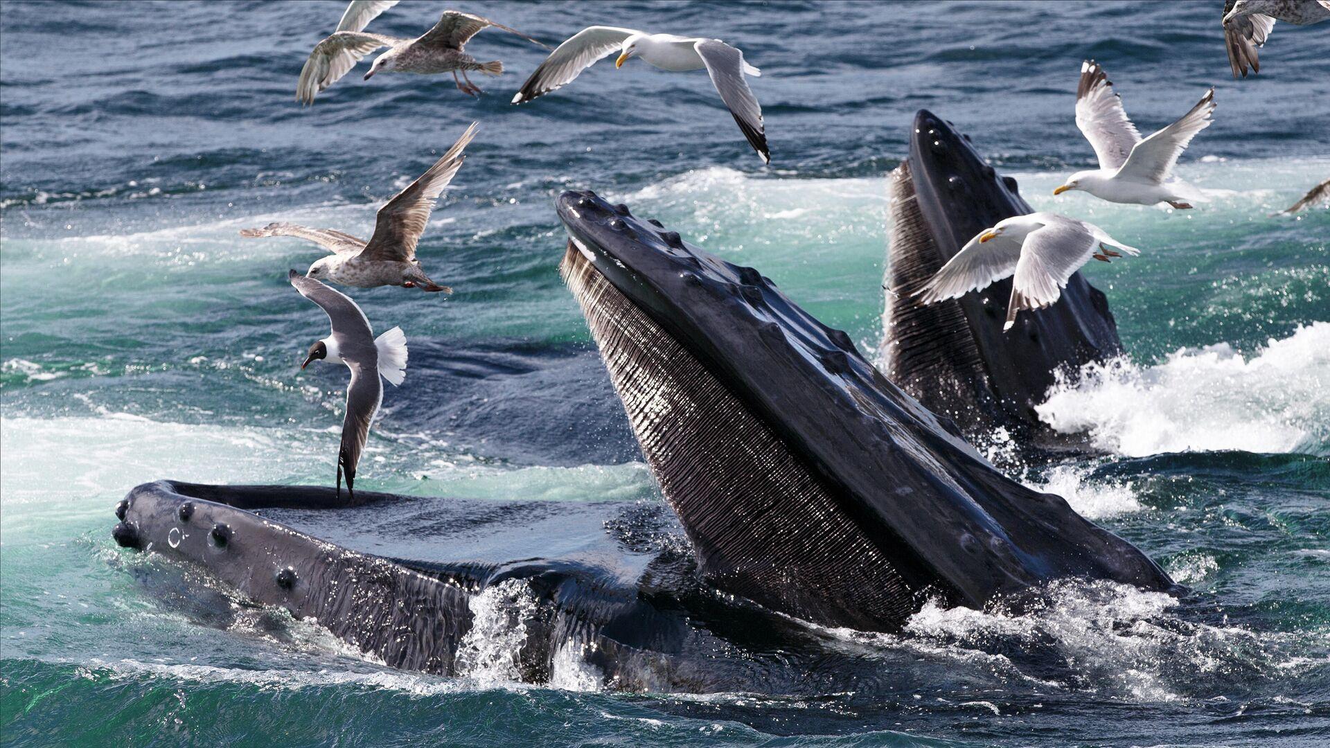 Горбатые киты кормятся на территории морского заповедника Stellwagen Bank около мыса Кейп-Код, недалеко от Провинстауна, штат Массачусетс - РИА Новости, 1920, 12.06.2021