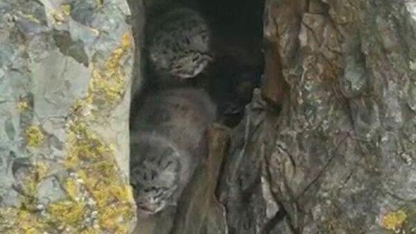 Жители Горного Алтая случайно нашли котят краснокнижного манула и сняли их на видео