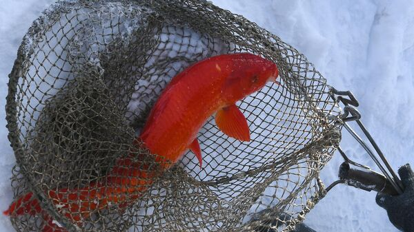 Красный японский карп кои породы огон на рыбной ферме