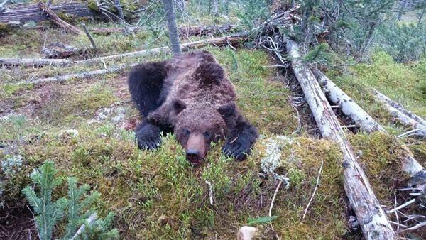 Застреленный медведь в природном парке Ергаки