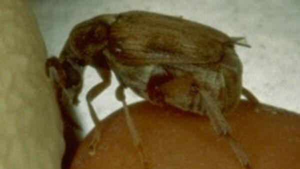 Самец жука Callosobruchus maculatus