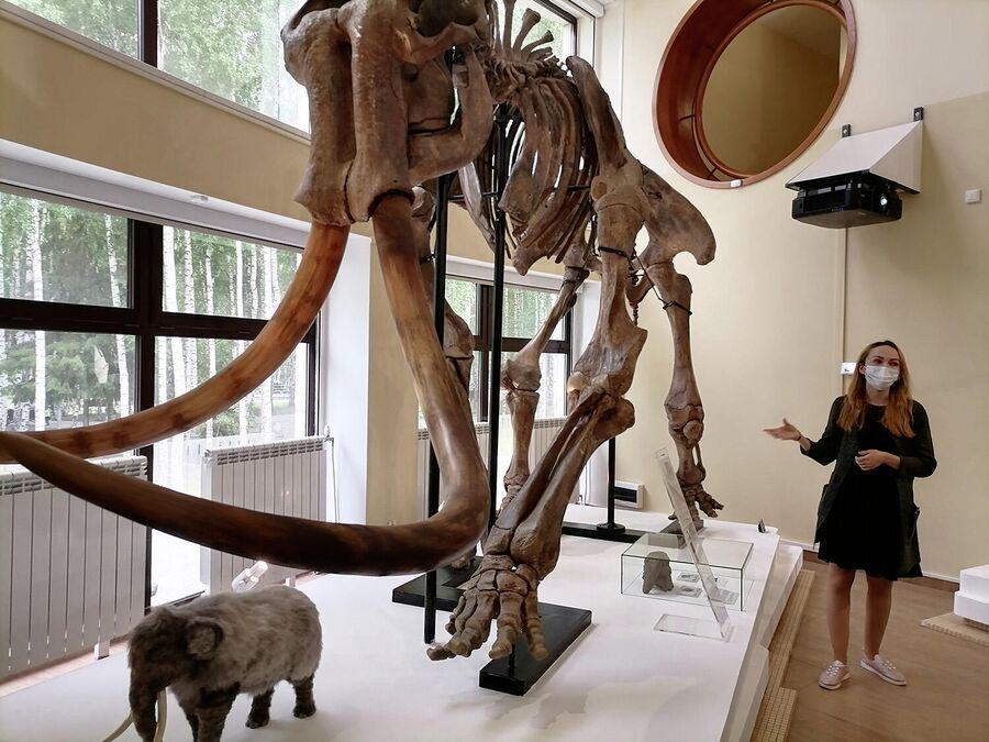 Скелет степного слона в музее Природы и человека в Ханты-Мансийске