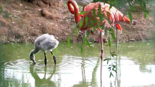 Птенец фламинго, родившийся в Московском зоопарке. Кадр видео