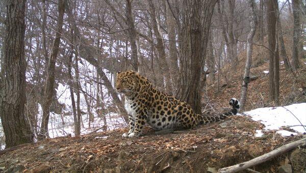 Дальневосточный леопард, запечатленный фотоловушкой. Архивное фото