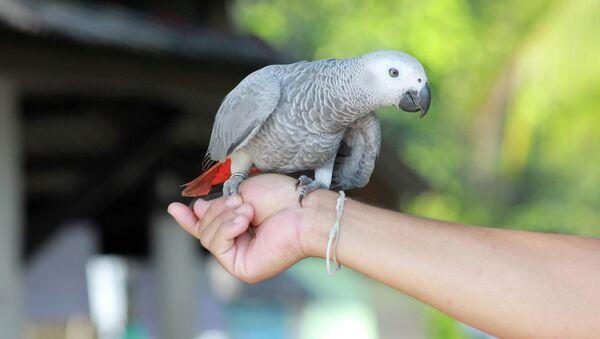 Африканский серый попугай