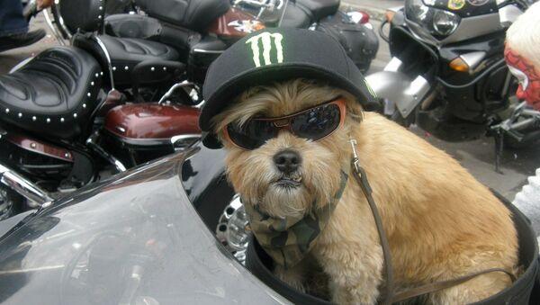 Собака-байкер Стич