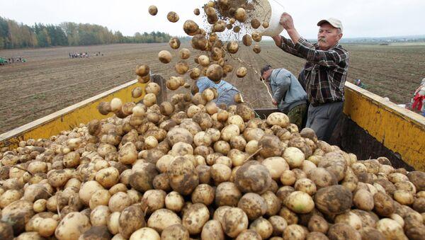 Уборка картофеля в Белоруссии. Архивное фото