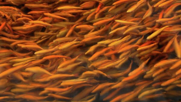 Мальки осетровых рыб, архивное фото