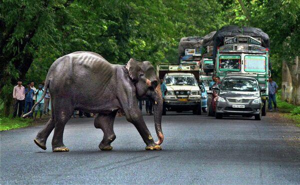 Дикий слон пересекает шоссе в Индии