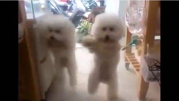 Видео в YouTube: собаки танцуют