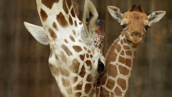 Маленький жираф с мамой. Архивное фото