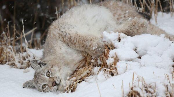 Самка рыси в Кроноцком заповеднике