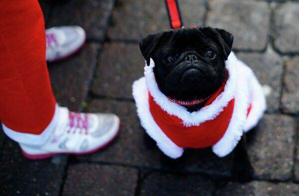 Собака перед началом забега Санта-Клаусов в Лафборо, Англия