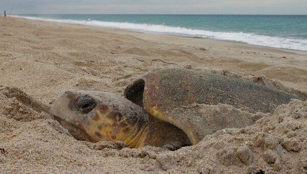 Морская черепаха одном из пляжей Флориды. Архивное фото