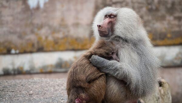 Семья бабуинов. Архивное фото