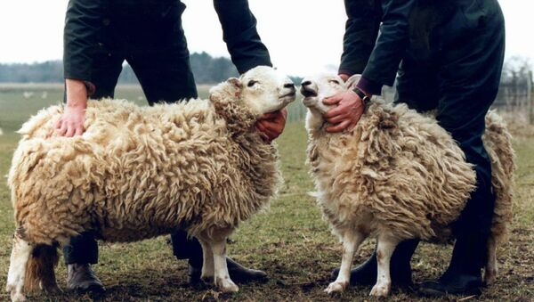 Клонированные горные бараны. Шотландия