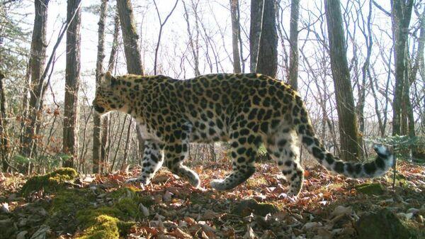 Леопард 23F Грация