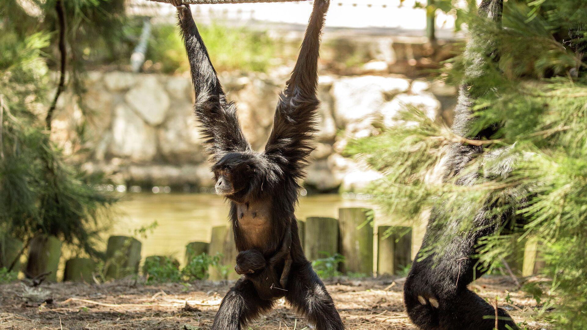 1063164527 0:270:5184:3186 1920x0 80 0 0 b2b38f9d64f06222098652cccdfff286 - В Новосибирске показали редких обезьян, которые поют