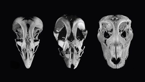 Слева – череп нормальной курицы, в середине – череп курицезавра, справа – череп аллигатора