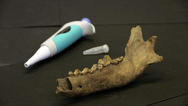 Челюсть таймырского волка и пипетка для генетического анализа