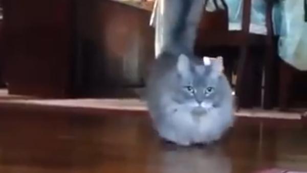 Кошка-коротышка