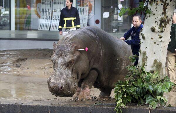 Сбежавший бегемот из зоопарка Тбилиси во время наводнения