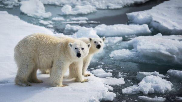 Белая медведица с медвежонком в районе архипелага Земля Франца Иосифа в Баренцевом море