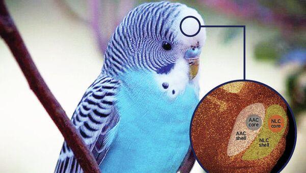 Так художник представил себе орехи, или матрешку, в мозге волнистого попугайчика