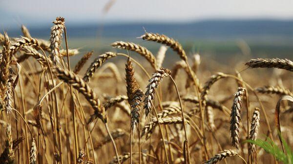 Уборка зерновых в России. Архивное фото