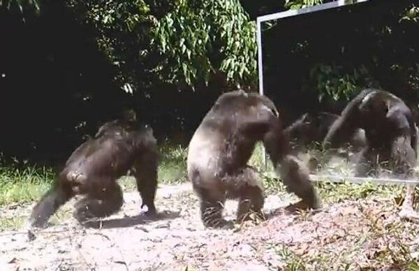 Шимпанзе атакуют зеркало