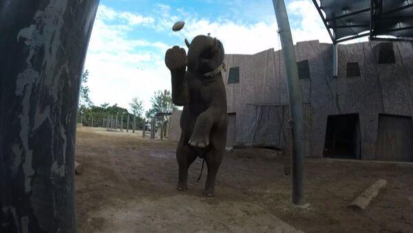 Слон из зоопарка в Сиднее отфутболил мяч для регби и снял удар на камеру