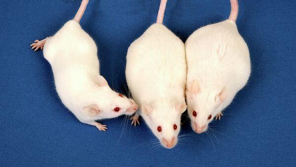 Мышь из контрольной группы (слева) и грызуны, чьи матери пили воду с мышьяком (справа)
