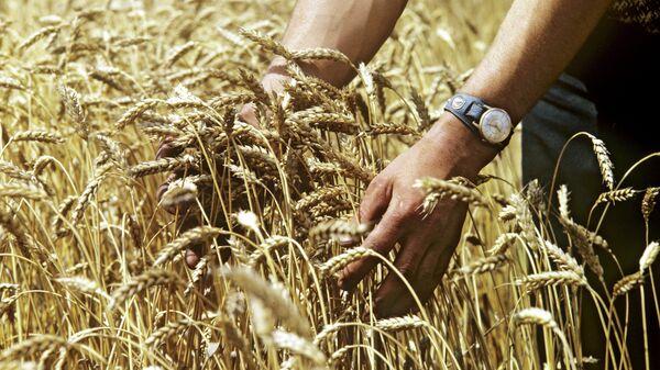 Пшеница сорта Мироновская-808, выведенная в Киевской области