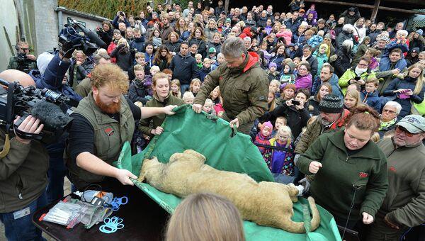Вскрытие льва в датском зоопарке города Оденс. 15 октября 2015.