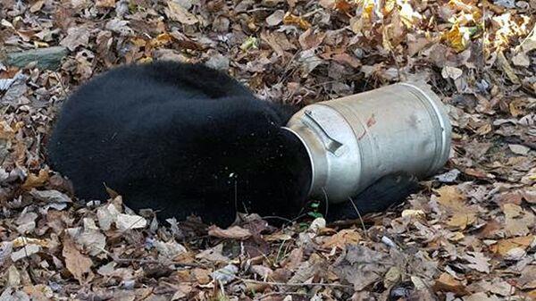 Медведь застрял в бидоне с молоком