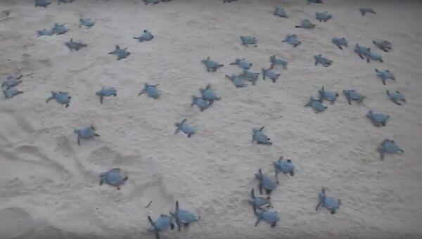 Черепашки устремляются в море