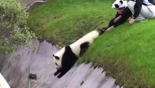 Панда с характером