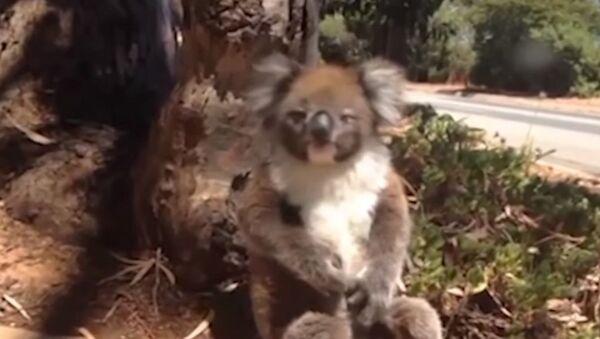 Маленькую коалу легко обидеть